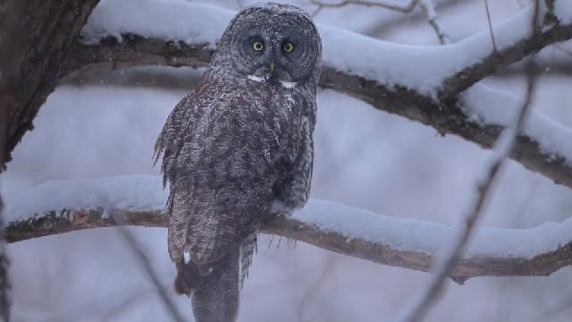 Photographie animalière sous la neige - Chouette lapone