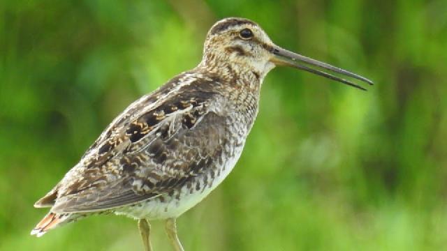 Becassine (cri), faucon et autres oiseaux