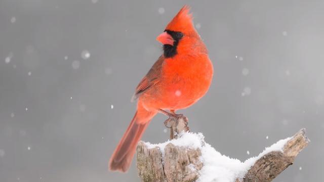 Photographie sous la neige avec les oiseaux du jardin - Nikon Z6ii et 400mm f2.8
