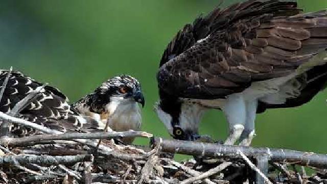 Photographie animalière - Balbuzards pêcheurs au nid